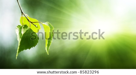 leaves of birch in forest