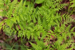 Leaves of bracken fern. A lot of fern leaves as a floral background for design.