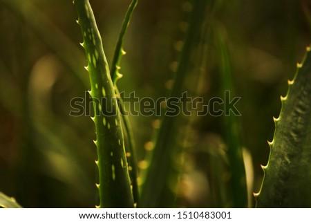 leaves of cactus macro macro lense.