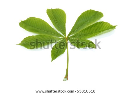 leaves of chestnut are isolated on a white background