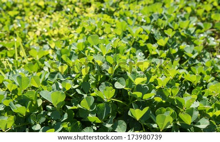 Leaves of clover with drops of dew, full frame background