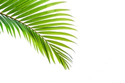 leaves of coconut isolated on white background