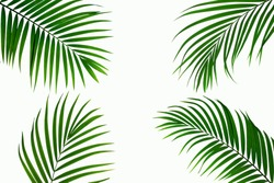 leaves of coconut isolated on white background for design elements, tropical leaf, summer background