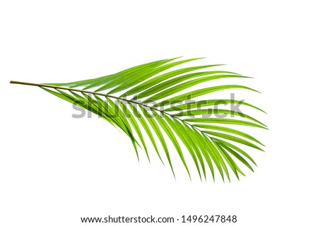 leaves of coconut isolated on white background with clipping path for design elements, tropical leaf, summer background #1496247848