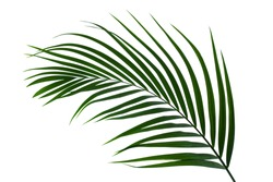 leaves of coconut or palm isolated on white background with clipping path for design elements, tropical leaf, summer background