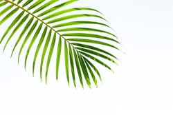 leaves of coconut palm tree isolated on white background, summer background