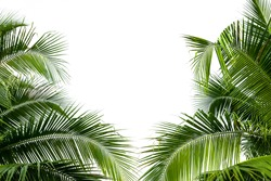 Leaves of coconut tree isolated on white background.