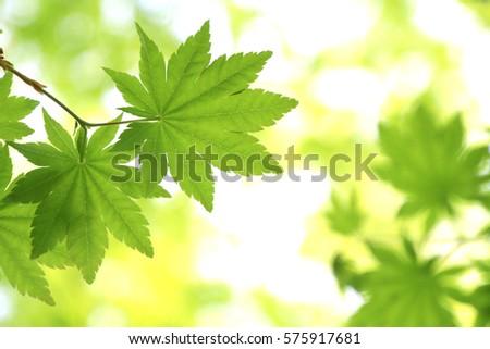 Leaves of fresh green.Leaves of Maple in Japan.