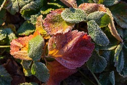 Leaves of garden strawberries covered with hoar frost. Beautiful natural background with hoarfrost on foliage. Frozen plants texture. Rime ice crystals on strawberry leaves in the garden during frost.