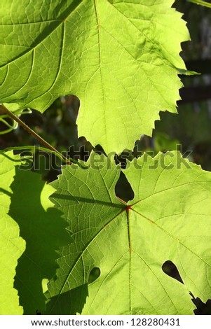 Leaves of grape glowing in sunlight