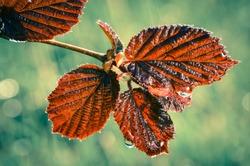 Leaves of hazel in summer or springtime rain garden or forest scene