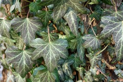 Leaves of ivy growing on a tree trunk. Hedera helix, the common ivy, English ivy, European ivy. Poland, Europe