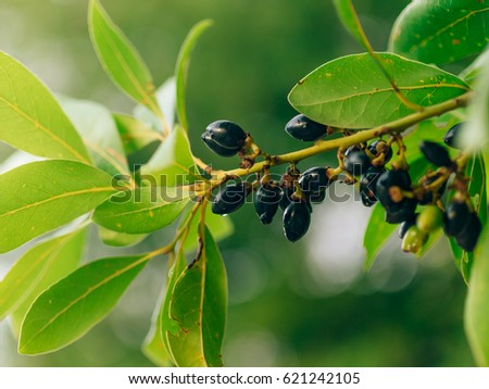 Leaves of laurel and berries on a tree. Laurel leaf in the wild nature of Montenegro.