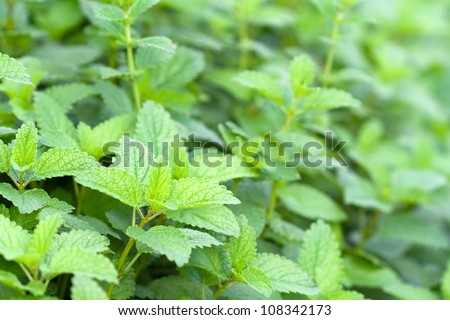 leaves of lemon balm or melissa officinalis