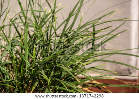 leaves of lemongrass with a white wall on the back on a bright sunny day #1371742298