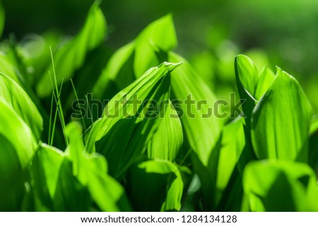 leaves of lily of the valley. natural spring (summer) background& picture with soft focus