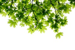 Leaves of maple in the spring