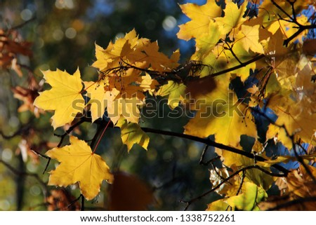 Leaves of Norway Maple or Acer platanoides in autumn against sunlight with bokeh background. Autumn colorful leaves with details. Sunny autumn maple  #1338752261