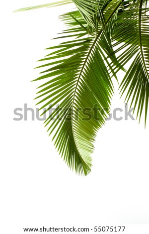 Leaves of palm on white background #55075177