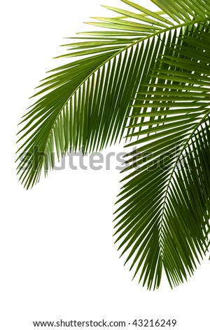Leaves of palm tree  isolated on white background