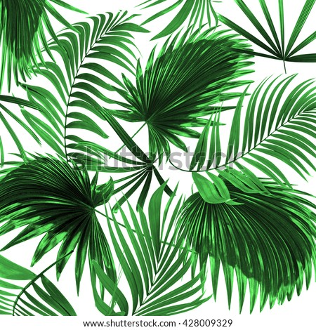 leaves of palm tree on white background #428009329
