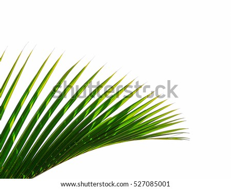 Leaves of palm tree on white background #527085001