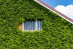 Leaves of Parthenocissus tricuspidata 'Veitchii' or Boston ivy, grape ivy, Japanese ivy or Japanese liana leaves.Wall of house is closed by colorful ivy leaves. Natural decoration of walls of houses.
