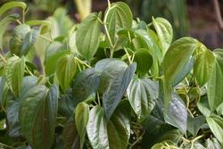 Leaves of Piper betle L/Sirih hijau
