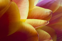 Leaves of red tulip with yellow edges, narrow depth of field and dark background
