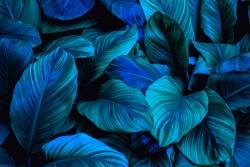 leaves of Spathiphyllum cannifolium, abstract green texture, nature blue tone background, tropical leaf