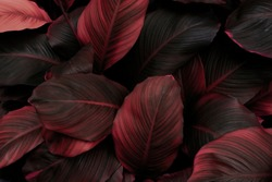leaves of Spathiphyllum cannifolium, abstract red texture, nature background, tropical leaf