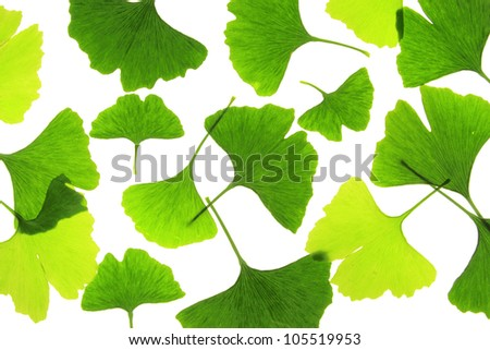 Leaves of the Ginkgo tree before a white background