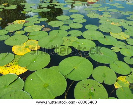 Leaves of the waterlily on water surface