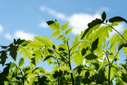 Leaves of tomatoes against the sky, Young tomato plants in the morning against the sky.