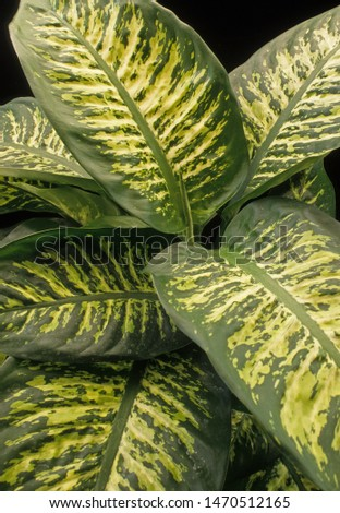 Leaves of toxic spotted Dumb Cane