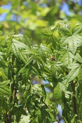 Leaves of tree Quercus palustris green pillar