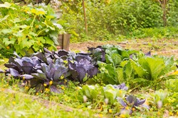 Leaves of various cabbage (Brassicas) plants in homemade garden plot. Vegetable patch with brassica, red and savoy cabbage, kohlrabi and borecole. Pumkin plant in background. Organic farming and food.