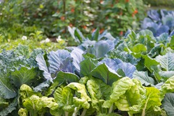 Leaves of various cabbage (Brassicas) plants in homemade garden plot. Vegetable patch with chard (mangold), brassica, kohlrabi and borecole. Kidney bean in background. Organic farming, healthy food.