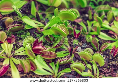 Leaves of venus flytrap. Bright carnivorous plants, exotic insect eating plants. Natural exotic background with danger concept. Very attractive plants but very dangerous at the same time. Double game.