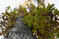 Leaves on a tree in autumn that is slowly declining