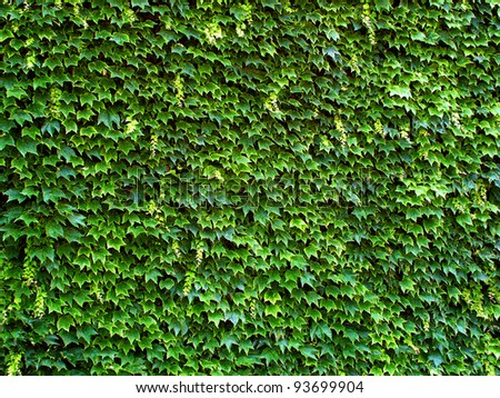 leaves on wall/wall in the leaves/ivy  on old wall
