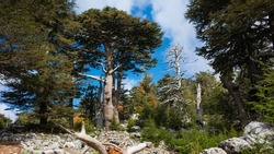 Lebanese Cedar tree forest (Rare and endangered species of trees in pine family) on Tahtali mountain \ mount Olympos on Lycian way trekking way in Turkey