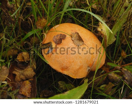 Leccinum versipelle (also known as Boletus testaceoscaber or the orange birch bolete) mushroom in autumn forest. It's a common edible mushroom. It is found below birches from July through to November.