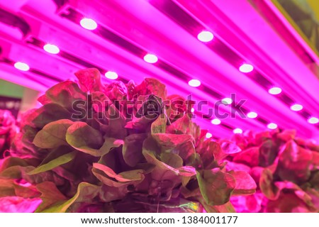 LED lighting used to grow lettuce inside a warehouse without the need for sunlight