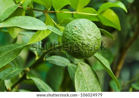 Leech Lime Fruits Hanging On Its Tree Stock Photo ... Leeches Fruit Tree
