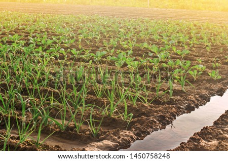 Leek and young cabbage plantations. Growing vegetables on the farm, harvesting for sale. Agribusiness and farming. Countryside. Cultivation and care for plantation. Improving efficiency of crop.
