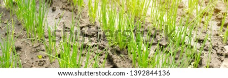Leek seedling grows in greenhouse. Growing organic vegetables. Farming. Agriculture. Seeds. Close-up. Selective focus. Banner #1392844136