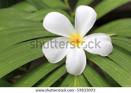 Leelavadee (Plumeria) tropical flower - stock photo