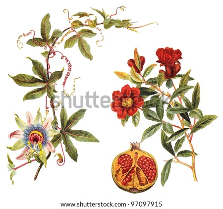 left Blue Passion Flower (Passiflora caerulea) and right Pomegranate (Punica granatum) / vintage illustration from Meyers Konversations-Lexikon 1897