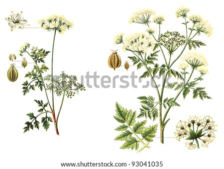 left Garden Hemlock (Aethusa Cynapium) and right Poison Hemlock (Conium maculatum) - poisonous plants / vintage illustration from Meyers Konversations-Lexikon 1897